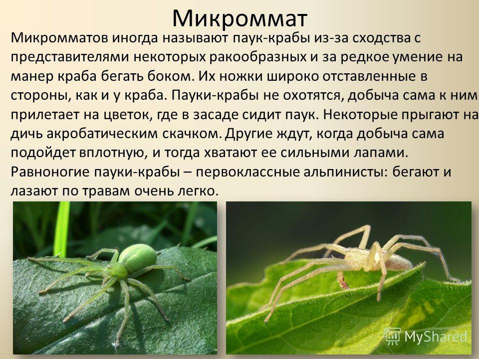 Микроммат Микромматов иногда называют паук-крабы из-за сходства с представителями некоторых ракообразных и за редкое умение на манер краба бегать боком. Их ножки широко отставленные в стороны, как и у краба. Пауки-крабы не охотятся, добыча сама к ним