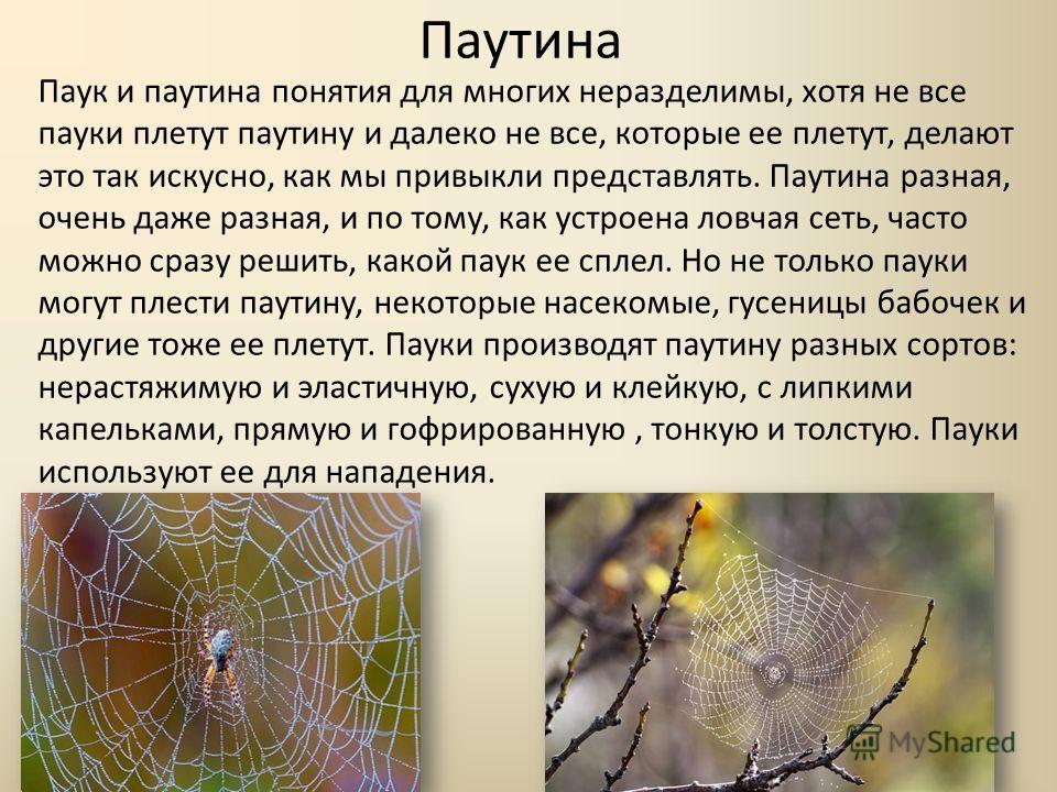 Паутина Паук и паутина понятия для многих неразделимы, хотя не все пауки плетут паутину и далеко не все, которые ее плетут, делают это так искусно, как мы привыкли представлять. Паутина разная, очень даже разная, и по тому, как устроена ловчая сеть,