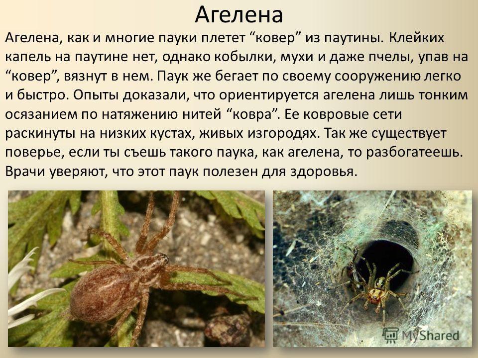 Агелена Агелена, как и многие пауки плетет ковер из паутины. Клейких капель на паутине нет, однако кобылки, мухи и даже пчелы, упав наковер, вязнут в нем. Паук же бегает по своему сооружению легко и быстро. Опыты доказали, что ориентируется агелена л