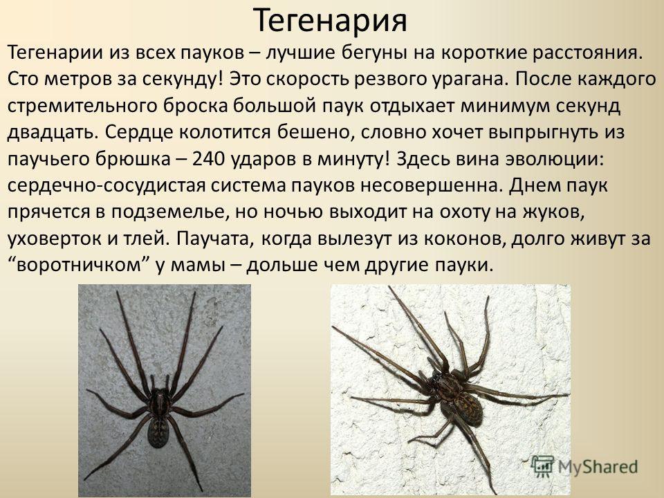 Тегенария Тегенарии из всех пауков – лучшие бегуны на короткие расстояния. Сто метров за секунду! Это скорость резвого урагана. После каждого стремительного броска большой паук отдыхает минимум секунд двадцать. Сердце колотится бешено, словно хочет в