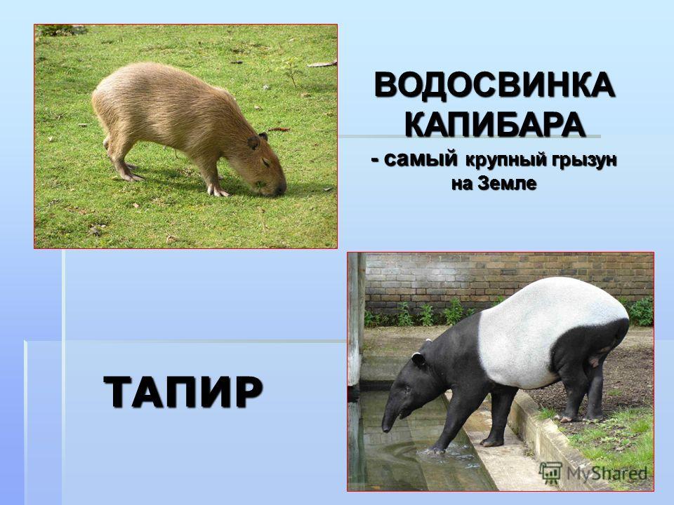ТАПИР ВОДОСВИНКА КАПИБАРА - самый крупный грызун на Земле