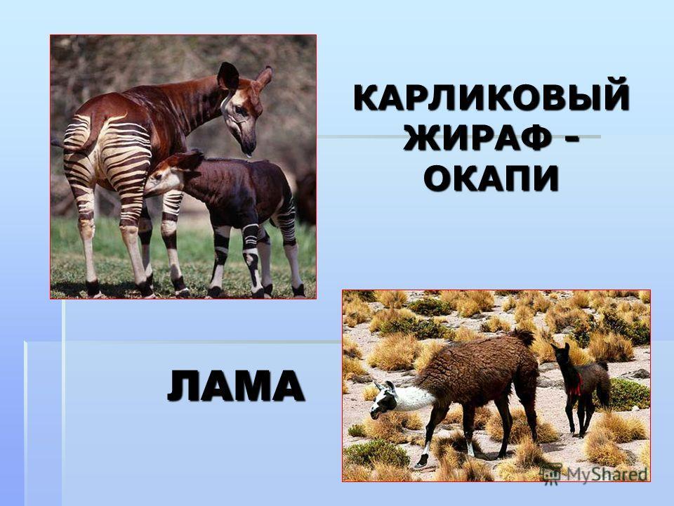 ЛАМА КАРЛИКОВЫЙ ЖИРАФ - ОКАПИ