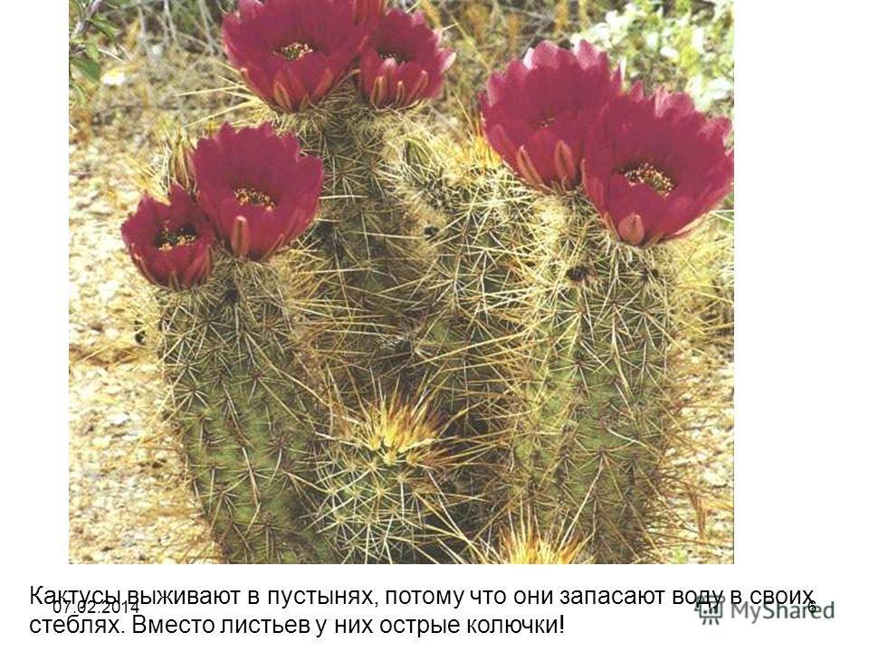 Кактусы выживают в пустынях, потому что они запасают воду в своих стеблях. Вместо листьев у них острые колючки! 07.02.20146
