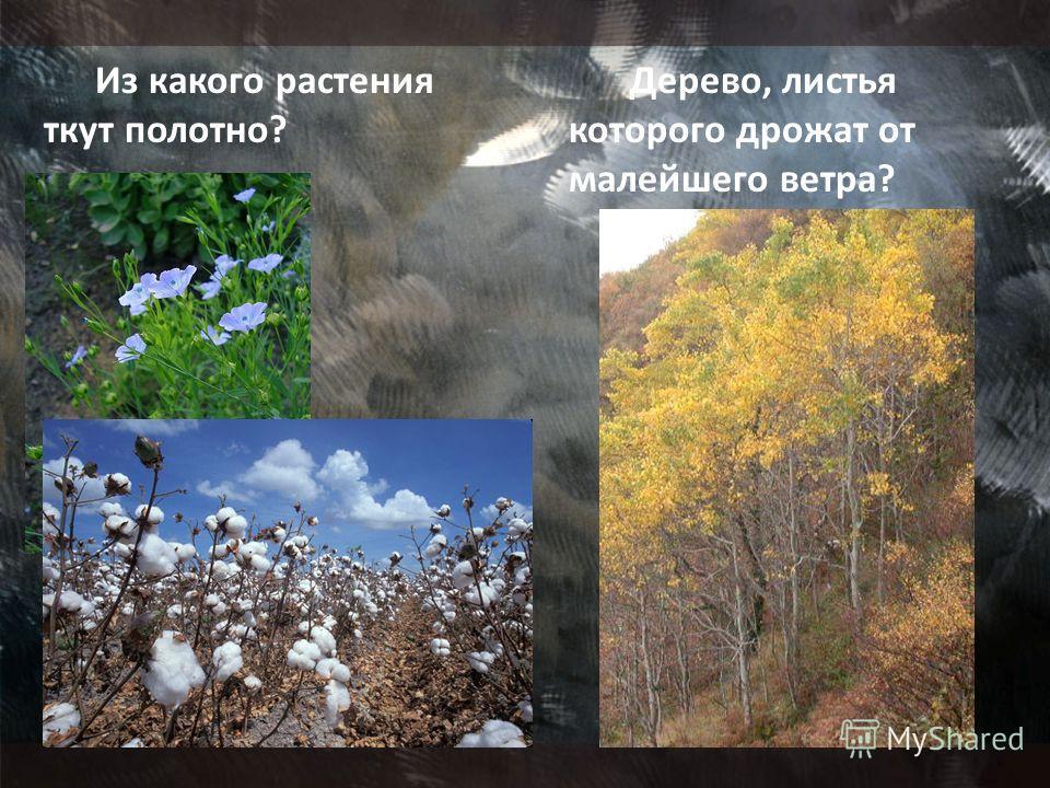 Из какого растения ткут полотно? Дерево, листья которого дрожат от малейшего ветра?