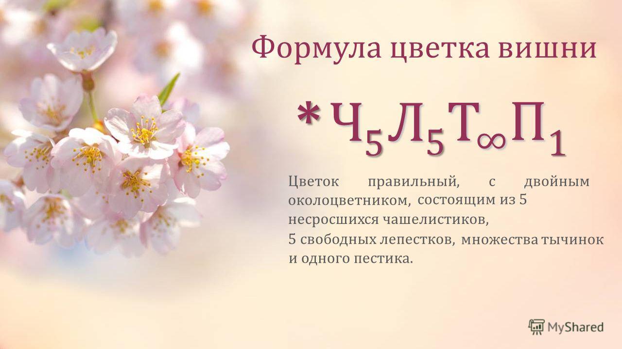 Формула цветка вишни *Ч 5 Л 5 Т П 1 Цветок правильный, с двойным околоцветником, состоящим из 5 5 свободных лепестков, множества тычинок и одного пестика. несросшихся чашелистиков,