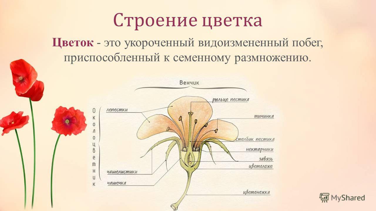 Строение цветка Цветок - это укороченный видоизмененный побег, приспособленный к семенному размножению.