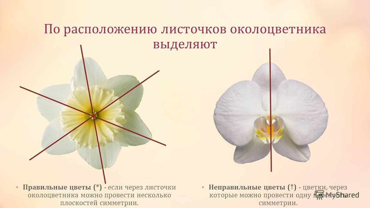 По расположению листочков околоцветника выделяют Правильные цветы (*) - если через листочки околоцветника можно провести несколько плоскостей симметрии. Неправильные цветы () - цветки, через которые можно провести одну плоскость симметрии.