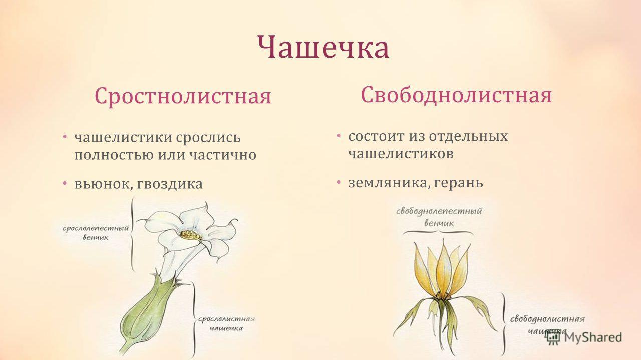 Чашечка Сростнолистная Свободнолистная чашелистики срослись полностью или частично вьюнок, гвоздика состоит из отдельных чашелистиков земляника, герань
