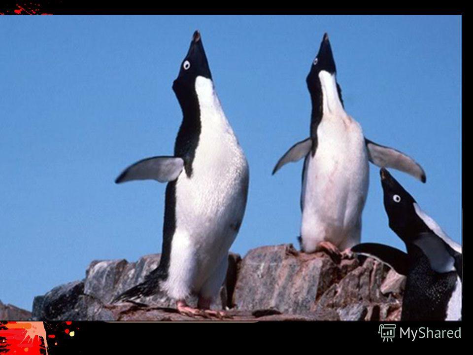 Переворачиватель пингвинов В Антарктике возле аэродромов всегда есть любопытные пингвины, которые, глядя на вертолеты и самолеты, так запрокидывают голову, что иногда падают на спину. А встать из этого положения они не могут. Вот добрые люди и помога