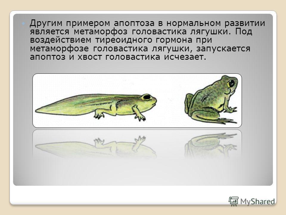 Другим примером апоптоза в нормальном развитии является метаморфоз головастика лягушки. Под воздействием тиреоидного гормона при метаморфозе головастика лягушки, запускается апоптоз и хвост головастика исчезает.