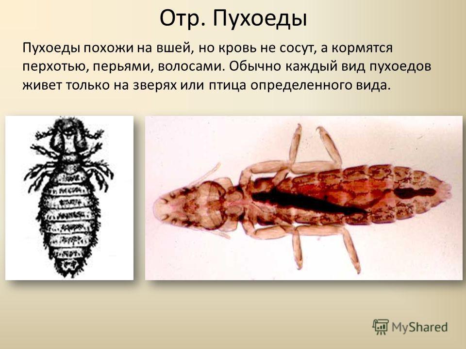 Отр. Пухоеды Пухоеды похожи на вшей, но кровь не сосут, а кормятся перхотью, перьями, волосами. Обычно каждый вид пухоедов живет только на зверях или птица определенного вида.