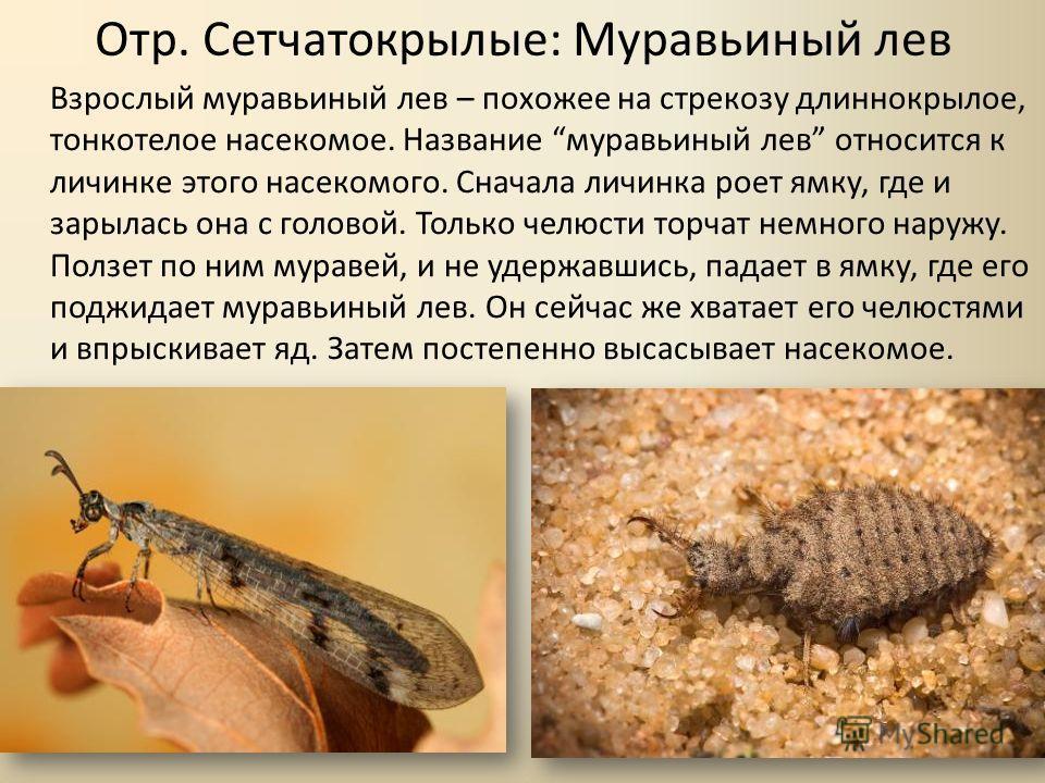 Отр. Сетчатокрылые: Муравьиный лев Взрослый муравьиный лев – похожее на стрекозу длиннокрылое, тонкотелое насекомое. Название муравьиный лев относится к личинке этого насекомого. Сначала личинка роет ямку, где и зарылась она с головой. Только челюсти