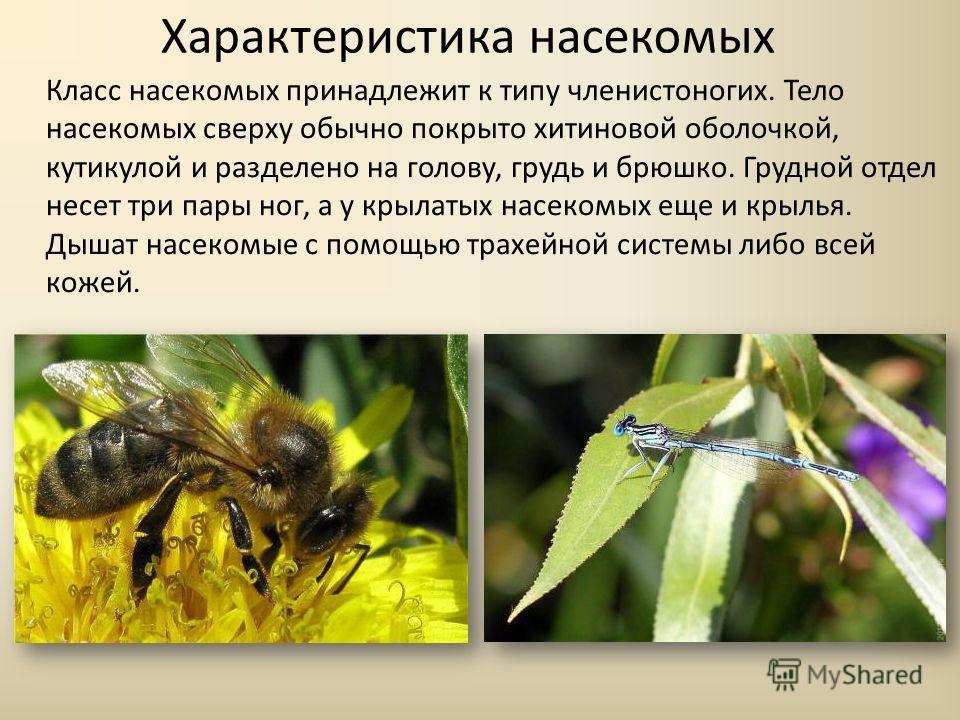 Характеристика насекомых Класс насекомых принадлежит к типу членистоногих. Тело насекомых сверху обычно покрыто хитиновой оболочкой, кутикулой и разделено на голову, грудь и брюшко. Грудной отдел несет три пары ног, а у крылатых насекомых еще и крыль