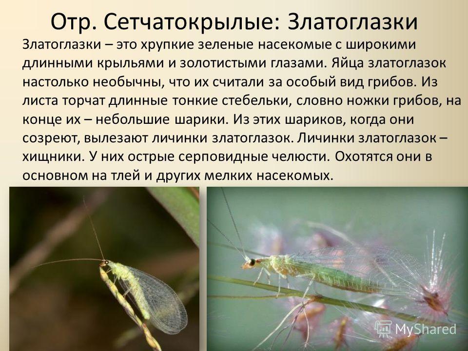 Отр. Сетчатокрылые: Златоглазки Златоглазки – это хрупкие зеленые насекомые с широкими длинными крыльями и золотистыми глазами. Яйца златоглазок настолько необычны, что их считали за особый вид грибов. Из листа торчат длинные тонкие стебельки, словно