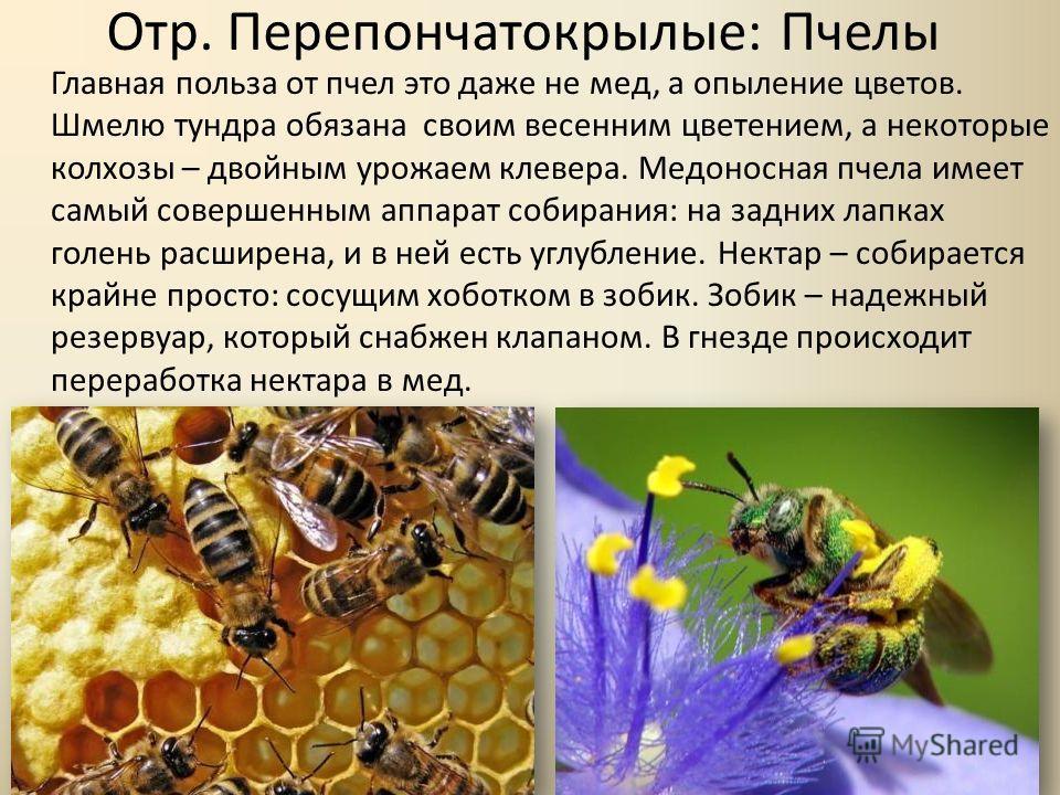Отр. Перепончатокрылые: Пчелы Главная польза от пчел это даже не мед, а опыление цветов. Шмелю тундра обязана своим весенним цветением, а некоторые колхозы – двойным урожаем клевера. Медоносная пчела имеет самый совершенным аппарат собирания: на задн