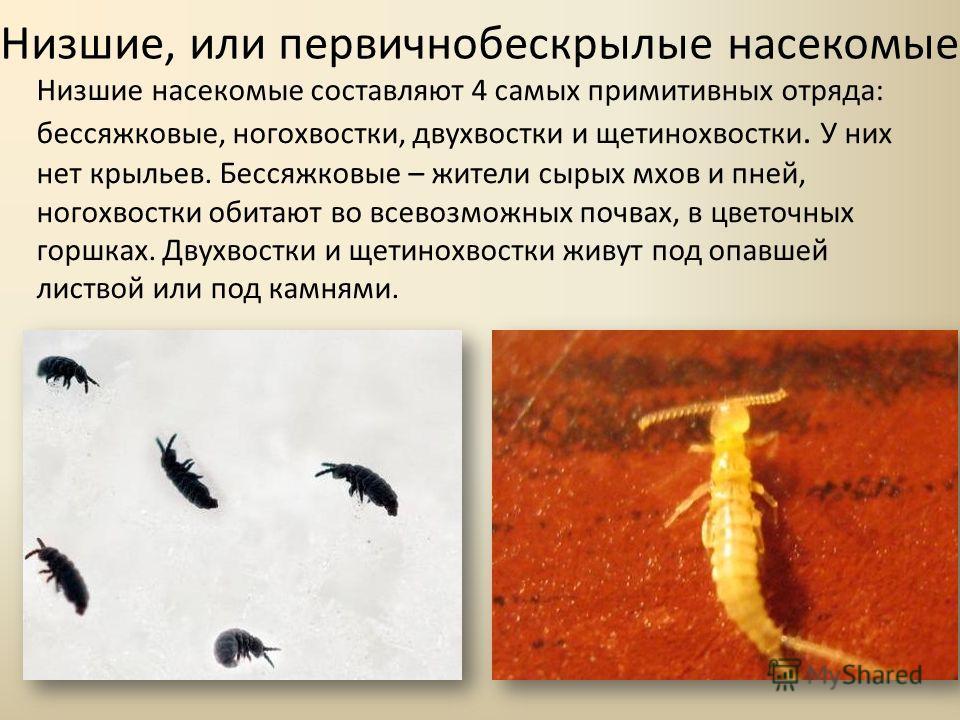 Низшие, или первичнобескрылые насекомые Низшие насекомые составляют 4 самых примитивных отряда: бессяжковые, ногохвостки, двухвостки и щетинохвостки. У них нет крыльев. Бессяжковые – жители сырых мхов и пней, ногохвостки обитают во всевозможных почва