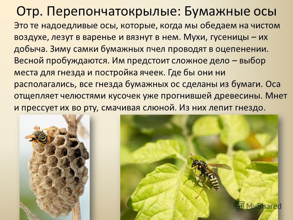 Отр. Перепончатокрылые: Бумажные осы Это те надоедливые осы, которые, когда мы обедаем на чистом воздухе, лезут в варенье и вязнут в нем. Мухи, гусеницы – их добыча. Зиму самки бумажных пчел проводят в оцепенении. Весной пробуждаются. Им предстоит сл