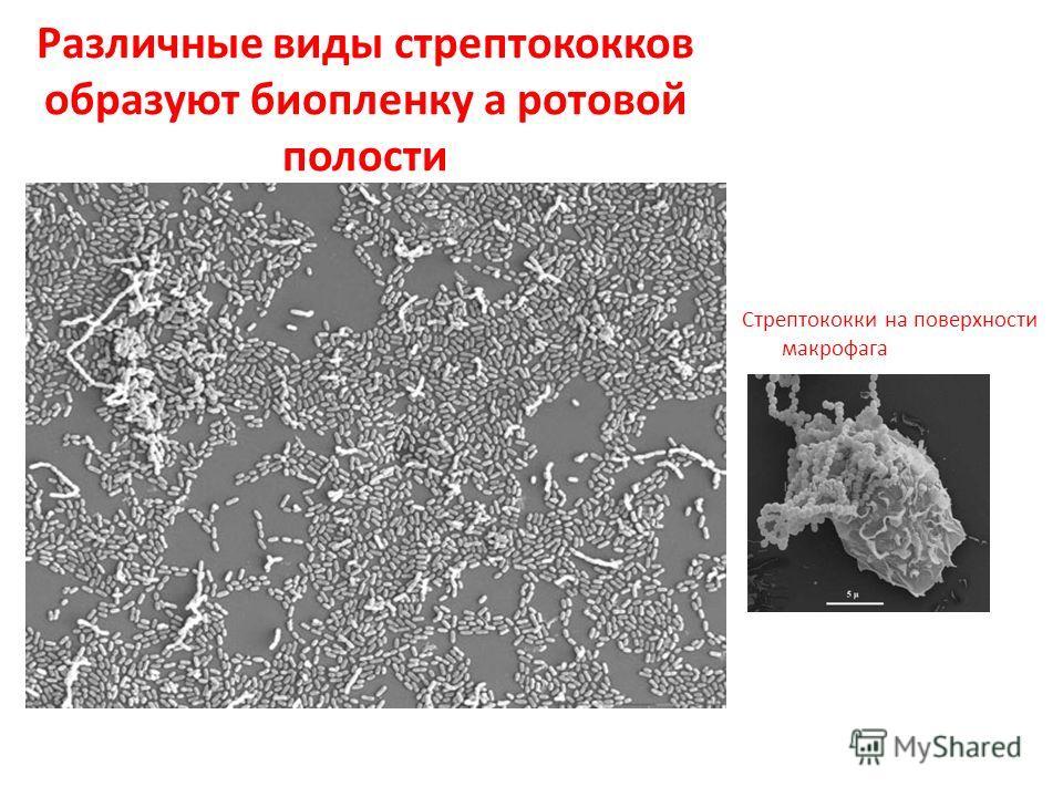 Различные виды стрептококков образуют биопленку а ротовой полости Стрептококки на поверхности макрофага