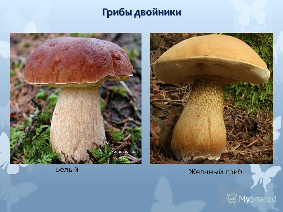 Желчный гриб Белый