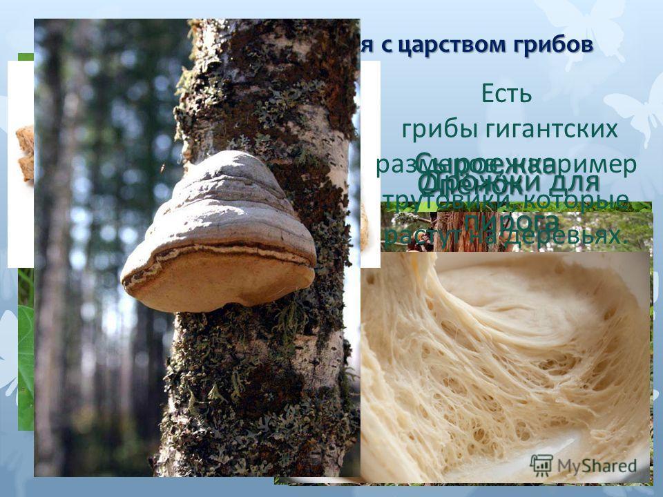 Сегодня мы познакомимся с царством грибов Белый Сыроежка Подосиновик Опёнок Зелёная плесень на хлебе Дрожжи для пирога Есть грибы гигантских размеров, например трутовики, которые растут на деревьях.