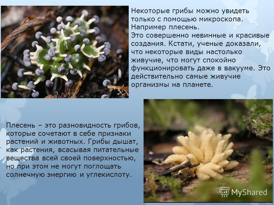 Некоторые грибы можно увидеть только с помощью микроскопа. Например плесень. Это совершенно невинные и красивые создания. Кстати, ученые доказали, что некоторые виды настолько живучие, что могут спокойно функционировать даже в вакууме. Это действител