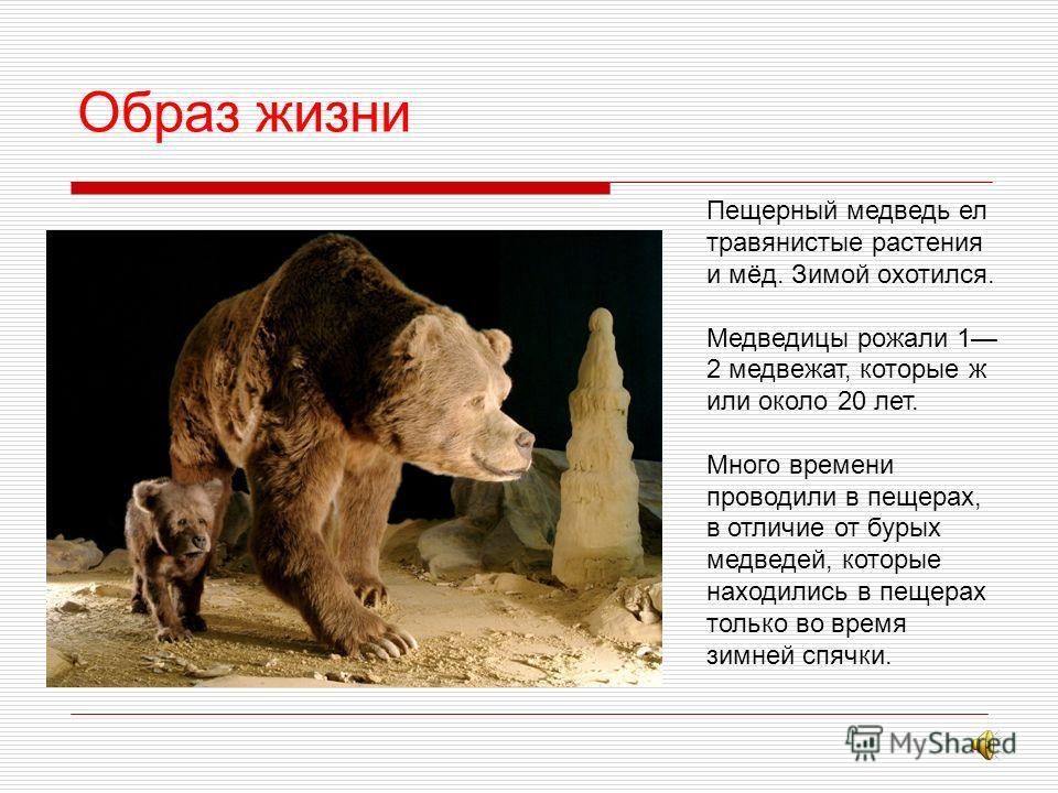 Рост пещерного медведя относительно роста человека.