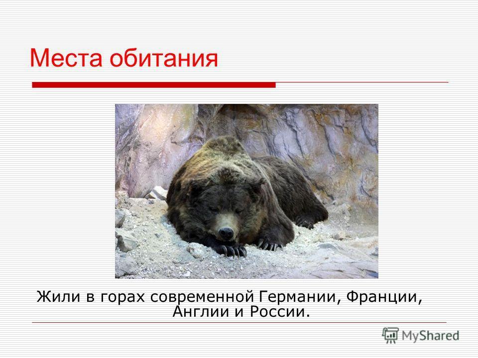 Образ жизни Пещерный медведь ел травянистые растения и мёд. Зимой охотился. Медведицы рожали 1 2 медвежат, которые ж или около 20 лет. Много времени проводили в пещерах, в отличие от бурых медведей, которые находились в пещерах только во время зимней