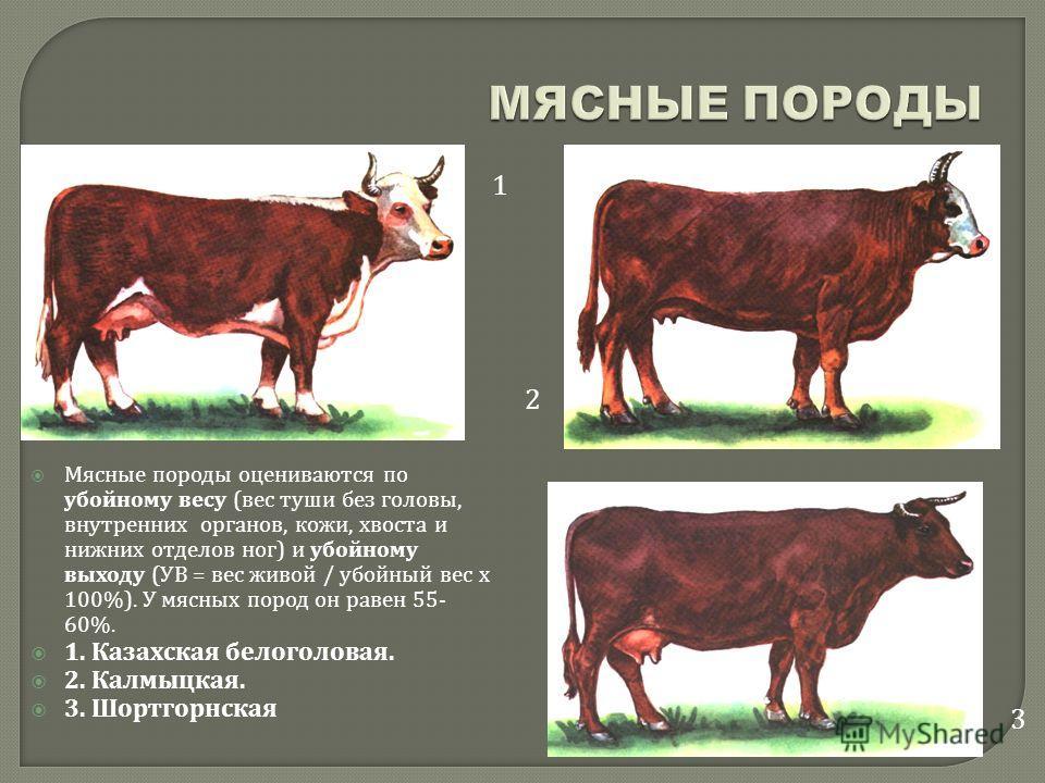 Мясные породы оцениваются по убойному весу ( вес туши без головы, внутренних органов, кожи, хвоста и нижних отделов ног ) и убойному выходу ( УВ = вес живой / убойный вес х 100%). У мясных пород он равен 55- 60%. 1. Казахская белоголовая. 2. Калмыцка