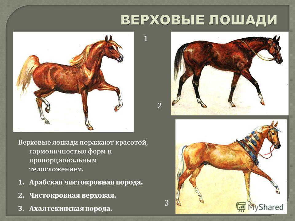 1 2 3 Верховые лошади поражают красотой, гармоничностью форм и пропорциональным телосложением. 1.Арабская чистокровная порода. 2.Чистокровная верховая. 3.Ахалтекинская порода.