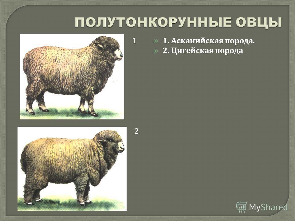 1. Асканийская порода. 2. Цигейская порода 1 2