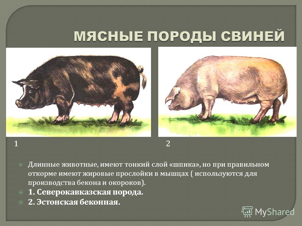 Длинные животные, имеют тонкий слой « шпика », но при правильном откорме имеют жировые прослойки в мышцах ( используются для производства бекона и окороков ). 1. Северокавказская порода. 2. Эстонская беконная. 12