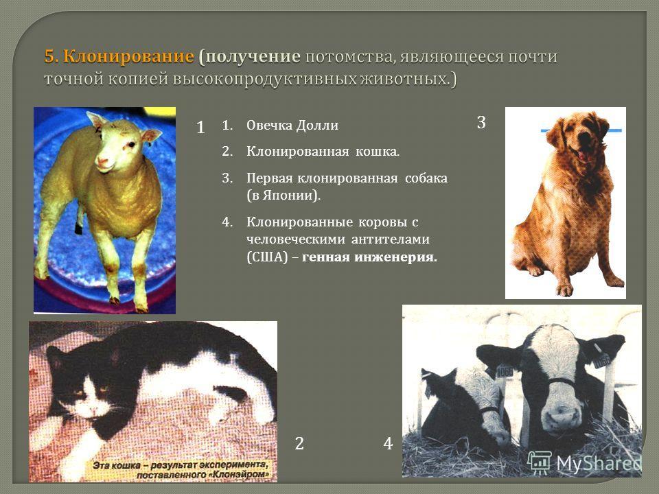 1 24 3 1.Овечка Долли 2.Клонированная кошка. 3.Первая клонированная собака ( в Японии ). 4.Клонированные коровы с человеческими антителами ( США ) – генная инженерия.