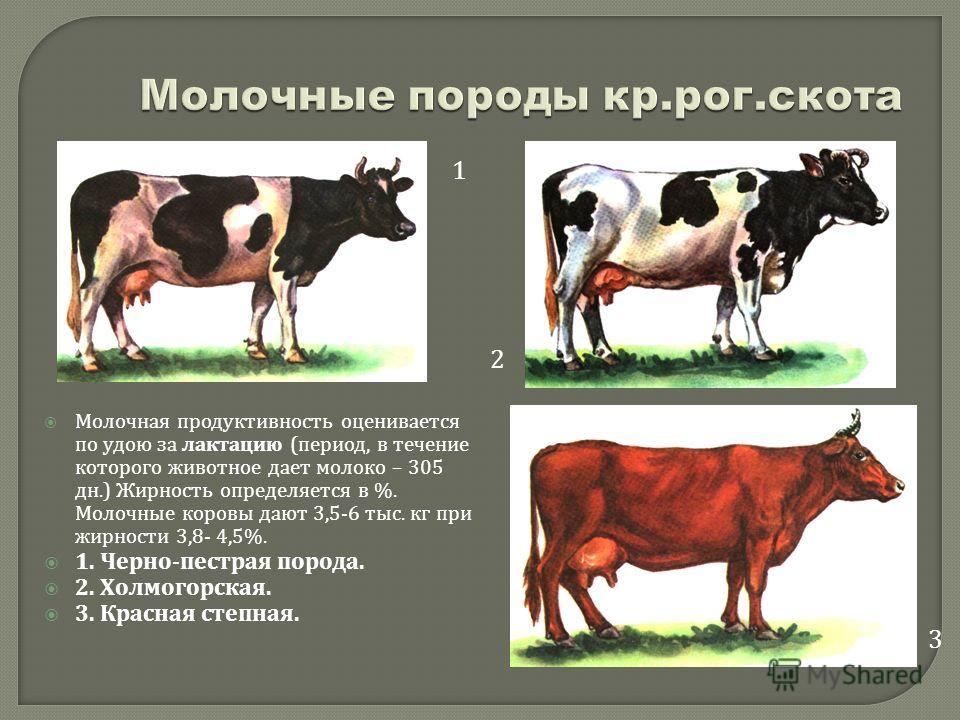 Молочная продуктивность оценивается по удою за лактацию ( период, в течение которого животное дает молоко – 305 дн.) Жирность определяется в %. Молочные коровы дают 3,5-6 тыс. кг при жирности 3,8- 4,5%. 1. Черно - пестрая порода. 2. Холмогорская. 3.