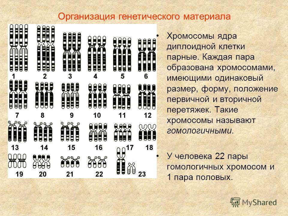 Организация генетического материала Хромосомы ядра диплоидной клетки парные. Каждая пара образована хромосомами, имеющими одинаковый размер, форму, положение первичной и вторичной перетяжек. Такие хромосомы называют гомологичными. У человека 22 пары