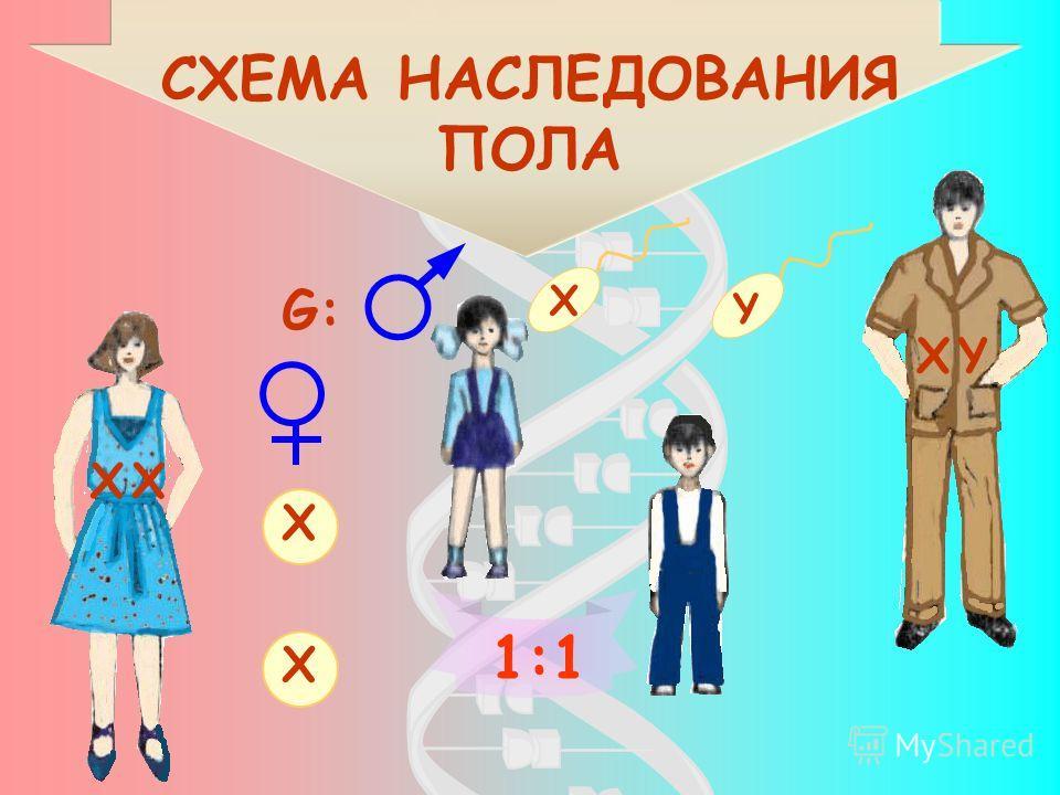 СХЕМА НАСЛЕДОВАНИЯ ПОЛА G: X X X Y 1:1 XX XY