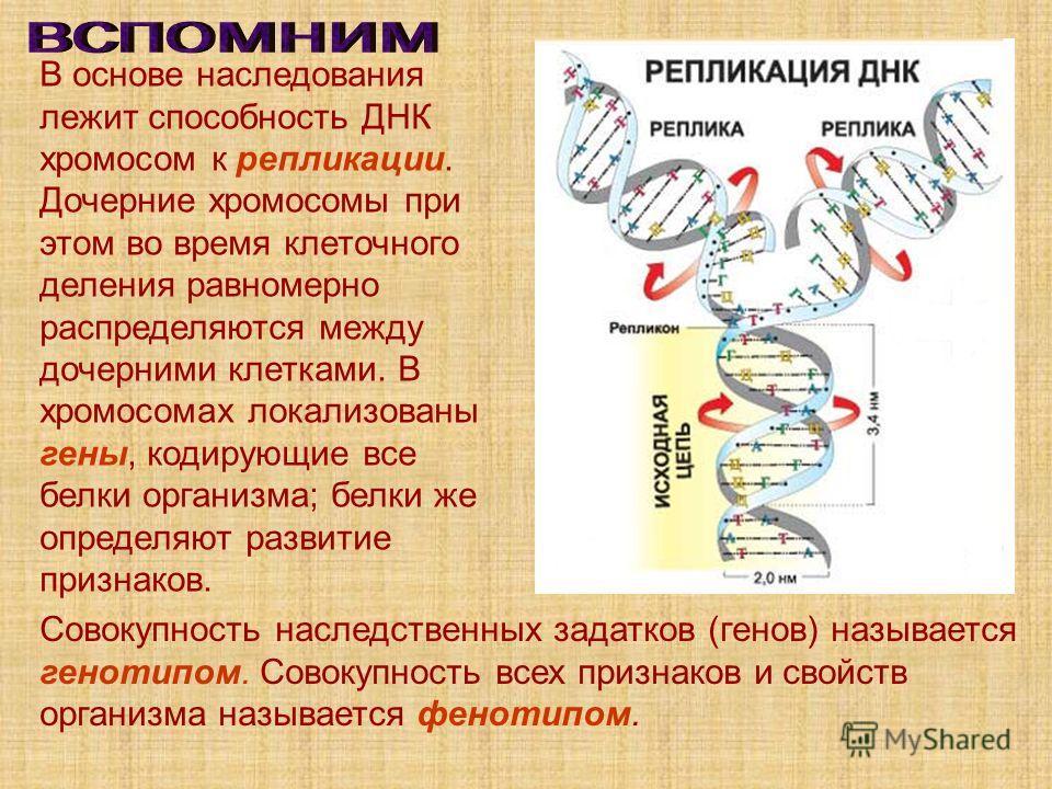 В основе наследования лежит способность ДНК хромосом к репликации. Дочерние хромосомы при этом во время клеточного деления равномерно распределяются между дочерними клетками. В хромосомах локализованы гены, кодирующие все белки организма; белки же оп