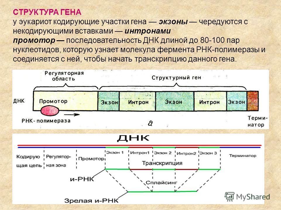 СТРУКТУРА ГЕНА у эукариот кодирующие участки гена экзоны чередуются с некодирующими вставками интронами промотор последовательность ДНК длиной до 80-100 пар нуклеотидов, которую узнает молекула фермента РНК-полимеразы и соединяется с ней, чтобы начат