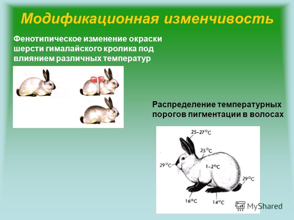 Модификационная изменчивость Фенотипическое изменение окраски шерсти гималайского кролика под влиянием различных температур Распределение температурных порогов пигментации в волосах
