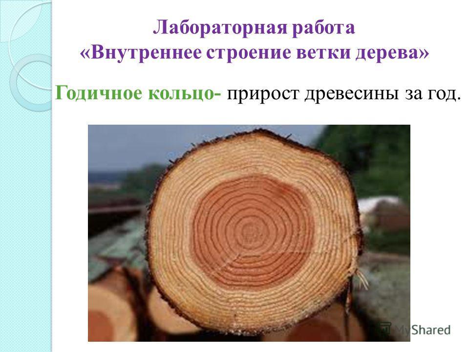 Годичное кольцо- прирост древесины за год. Лабораторная работа «Внутреннее строение ветки дерева»