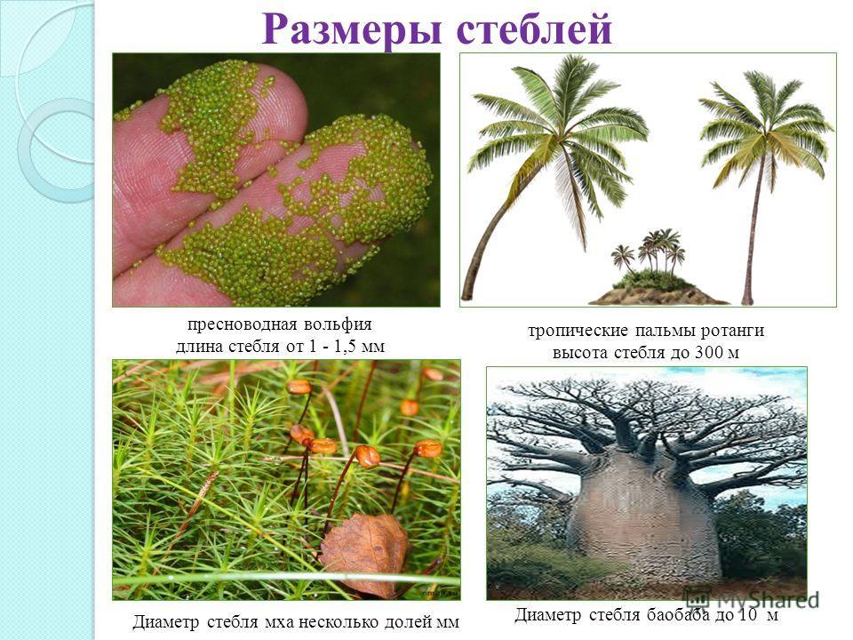 Размеры стеблей пресноводная вольфия длина стебля от 1 - 1,5 мм тропические пальмы ротанги высота стебля до 300 м Диаметр стебля баобаба до 10 м м Диаметр стебля мха несколько долей мм