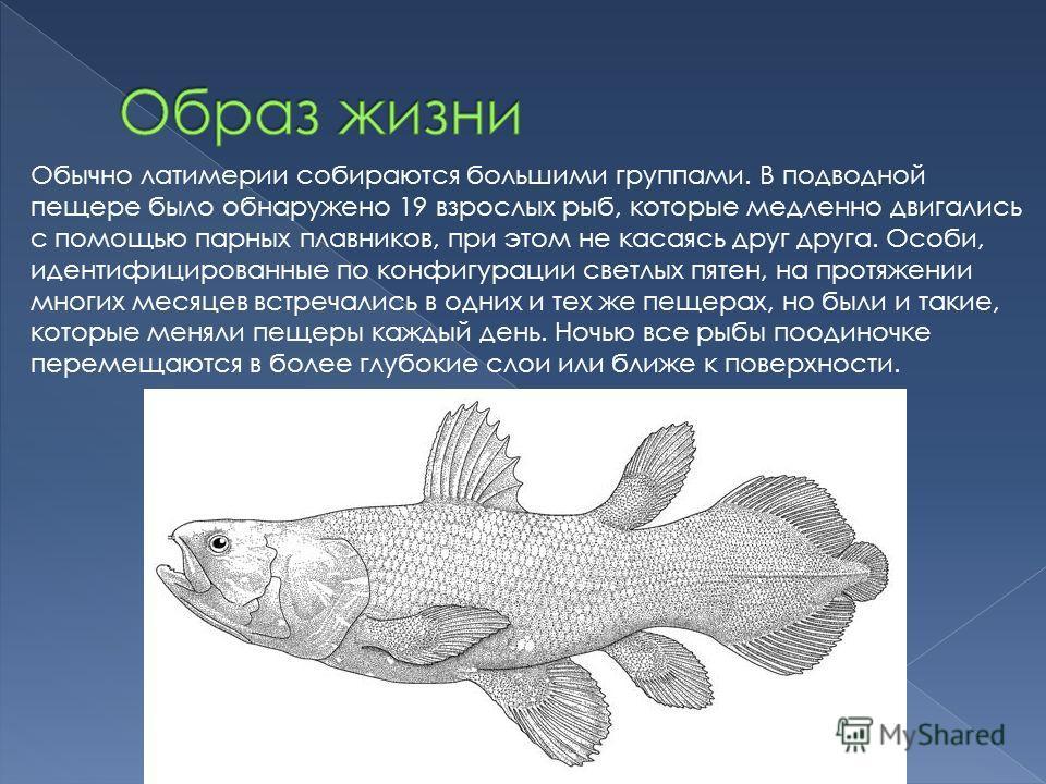 Обычно латимерии собираются большими группами. В подводной пещере было обнаружено 19 взрослых рыб, которые медленно двигались с помощью парных плавников, при этом не касаясь друг друга. Особи, идентифицированные по конфигурации светлых пятен, на прот
