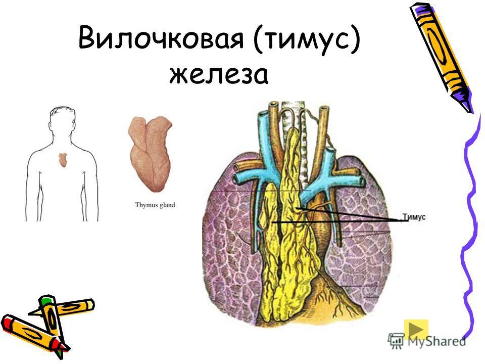 Вилочковая (тимус) железа