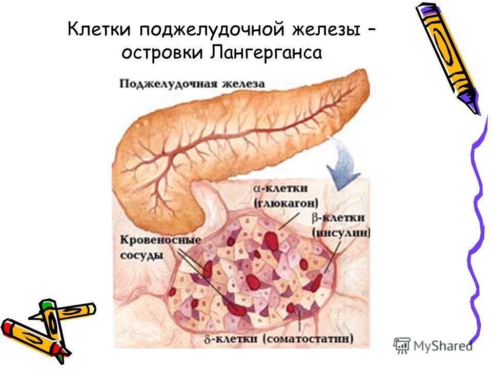 Клетки поджелудочной железы – островки Лангерганса