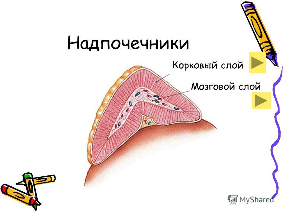 Надпочечники Корковый слой Мозговой слой