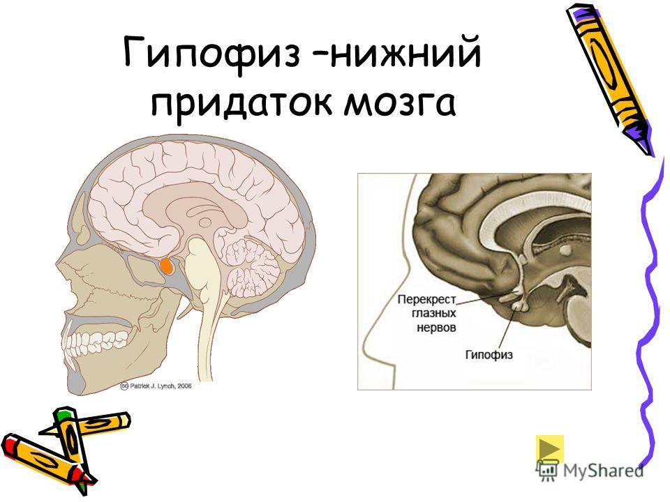 Гипофиз –нижний придаток мозга