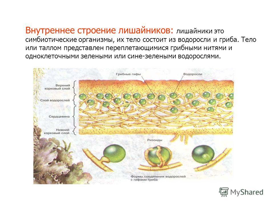 Внутреннее строение лишайников: лишайники это симбиотические организмы, их тело состоит из водоросли и гриба. Тело или таллом представлен переплетающимися грибными нитями и одноклеточными зелеными или сине-зелеными водорослями.
