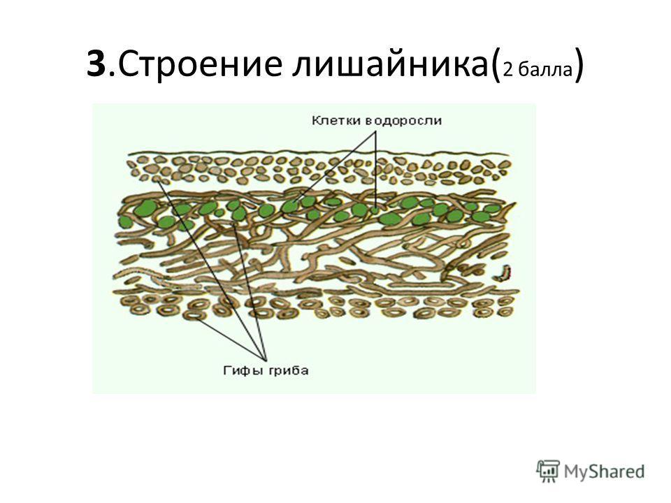 3.Строение лишайника( 2 балла )