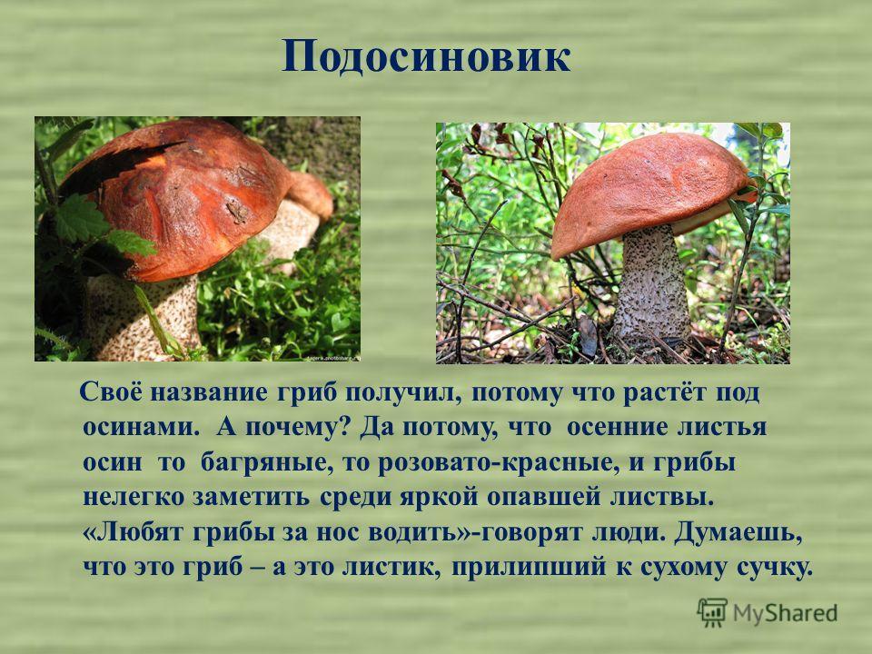 Подосиновик Своё название гриб получил, потому что растёт под осинами. А почему? Да потому, что осенние листья осин то багряные, то розовато-красные, и грибы нелегко заметить среди яркой опавшей листвы. «Любят грибы за нос водить»-говорят люди. Думае
