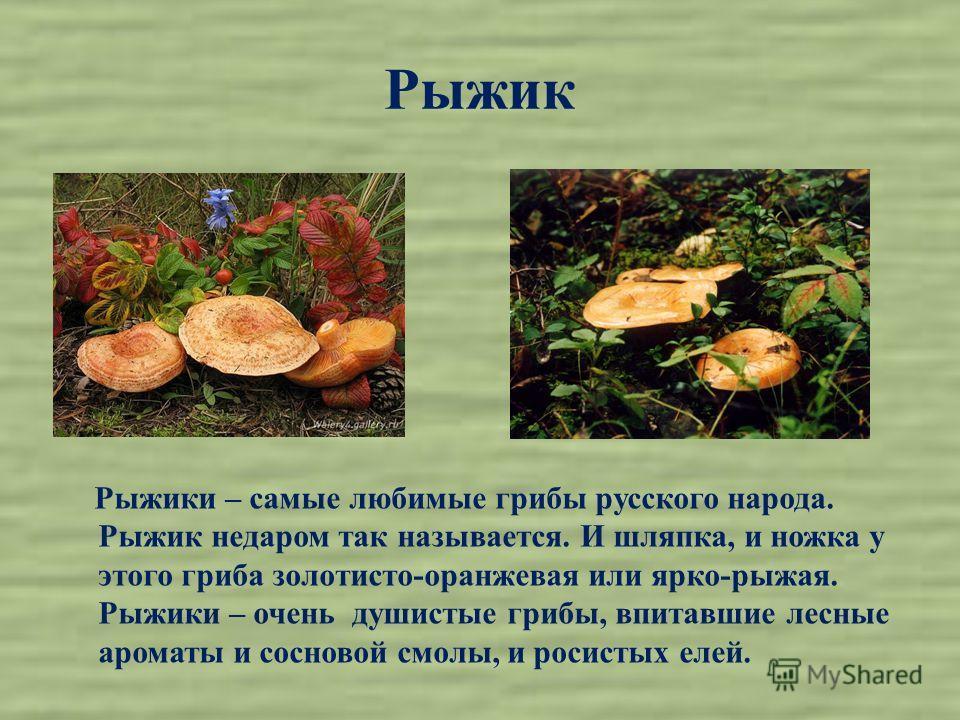 Рыжик Рыжики – самые любимые грибы русского народа. Рыжик недаром так называется. И шляпка, и ножка у этого гриба золотисто-оранжевая или ярко-рыжая. Рыжики – очень душистые грибы, впитавшие лесные ароматы и сосновой смолы, и росистых елей.