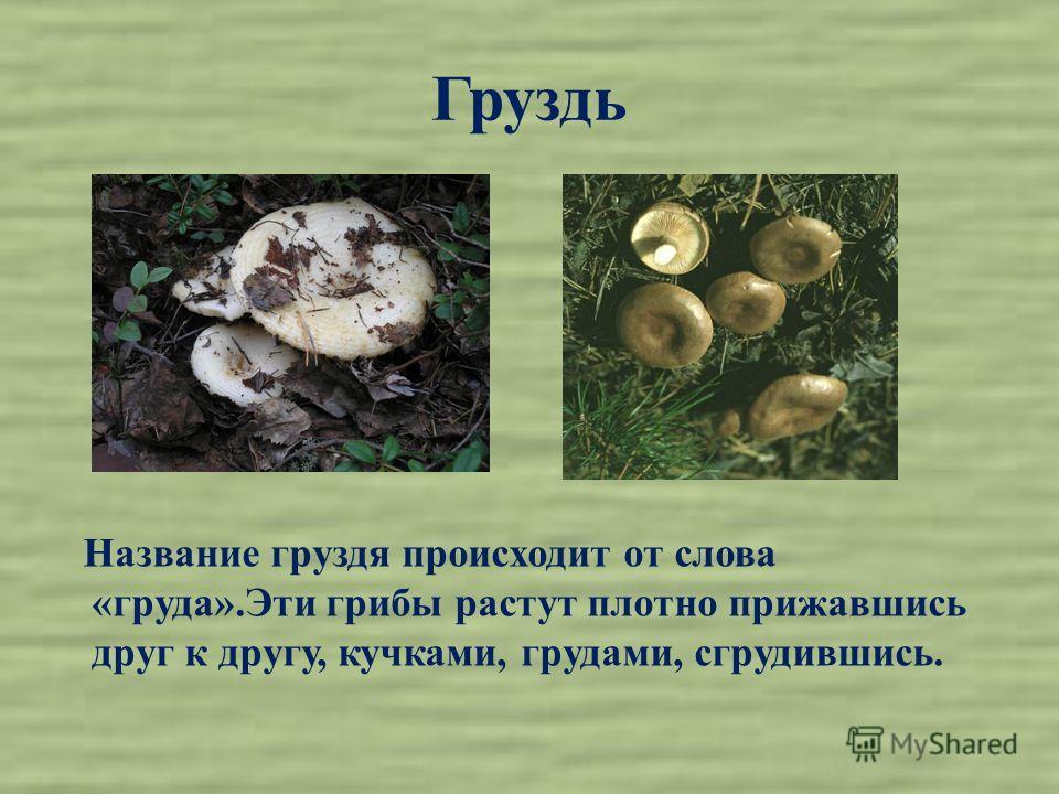 Груздь Название груздя происходит от слова «груда».Эти грибы растут плотно прижавшись друг к другу, кучками, грудами, сгрудившись.